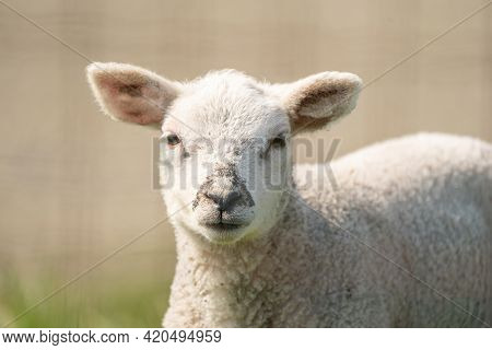 A Newborn Lambs Head. The White Lamb Looks Straight Into The Camera. On A Spring Morning
