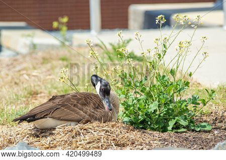 Canadian Goose Nesting Out In The Wild