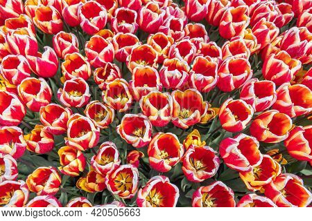 Top View Field Red And White Tulip Flowers In The Netherlands