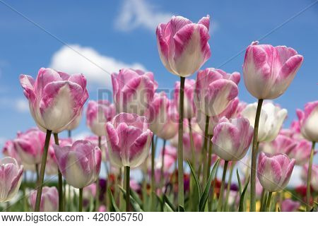 Dutch Field Beautiful Purple And White Tulip Flowers With Clouds In Blue Sky