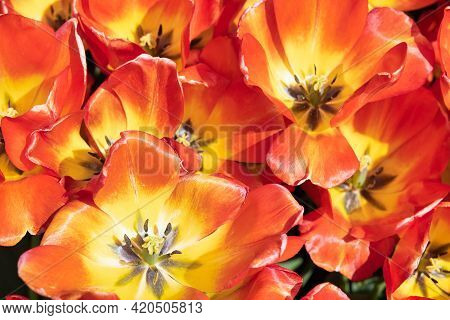 Top View Field Orange Tulips With Pistil And Stamen In The Netherlands