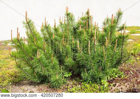 Mountain Pine Of The Humpy Variety (latin: Pinus Mugo Humpy) With Beautiful Brown Buds On A Green Ba