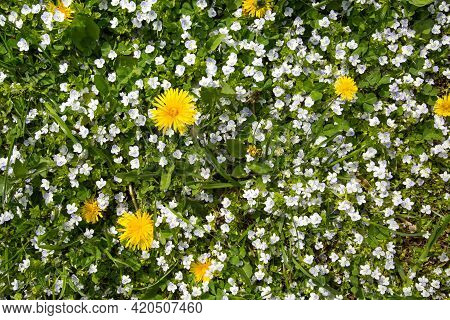 Background Of Small White Flowers And Yellow Mother-stepmother Flowers On A Background Of Young Gree