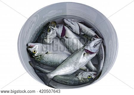 Catch Of Freshly Caught Fish In A Bucket Of Water