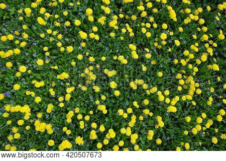 Many Yellow Dandelions On Green Field As Natural Background Top View Closeup