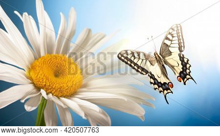 Butterfly sits on a chamomile flower. Insect with beautiful wings. close up Macro.