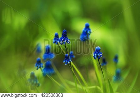 Among The Bright Green Grass, On Thin Stems Blue Muscari Flowers Bloom, Illuminated By The Warm Sunl