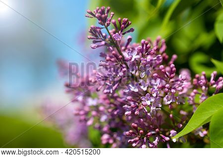A Branch Of A Beautiful Spring Lilac In A Spring Garden On A Sunny Day. Spring Flowering Lilac Close