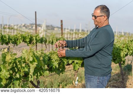 Senior Man Checks Young Inflorescence Of Grapes On The Vine Close-up. Grape Vine With Green Leaves A