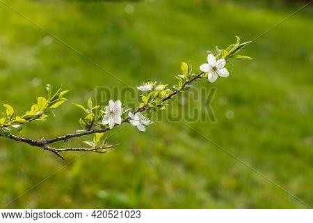 Branch Of White Cherry Plum Flowers At Bright Green Background. Myrobalan Plum (prunus Cerasifera) B
