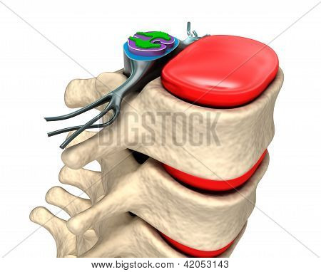Spinal column with nerves and discs. Over white background poster