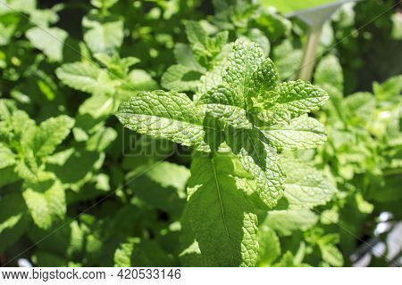 Spearmint, Also Known As Garden Mint, Common Mint, Lamb Mint And Mackerel Mint, Is A Species Of Mint