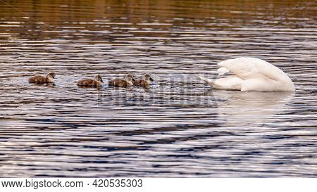 Mute Swan Bird Family With Cygnets Swimming Together. Family Swan With Babies In Spring. Cygnus Olor