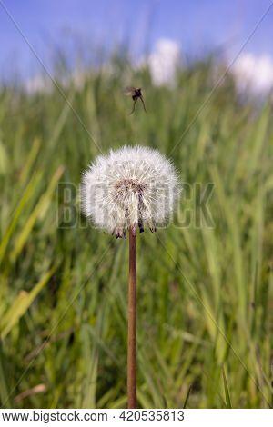 White Dandelion Blowballs With Fly In Green Meadow Field
