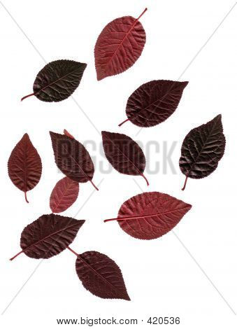 Red Plum Leaves
