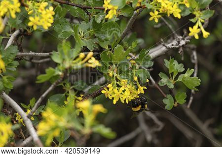 Bumblebee Collects Nectar From Yellow Flowers. Blooming Yellow Bush With Bumblebee. Soft Focus