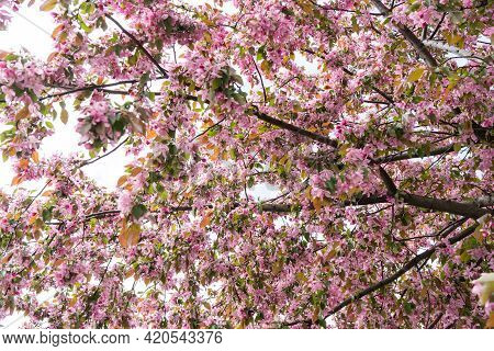 Pink Cherry Blossom In Spring, Sakura Kanzan. Prunus Serrulata. Cerasus Serrulata. Sekiyama. Japanes
