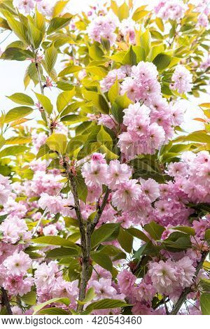 Pink Cherry Blossom, Sakura Kanzan. Prunus Serrulata. Cerasus Serrulata. Sekiyama. Japanese Cherry B