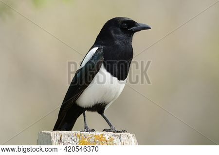 Black Billed Magpie Also Called American Magpie Bird Perched On Fence Post