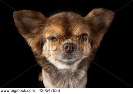Serious Face Chihuahua Dog Close-up Wide Angle Lens Portrait. Dog Emotions Contempt, Arrogance. Eye