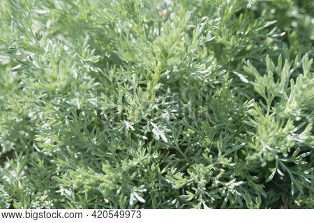 Artemisia Absinthium, A Herbaceous Silvery Plant With A Strong Aroma And Bitterness. Medicinal Plant