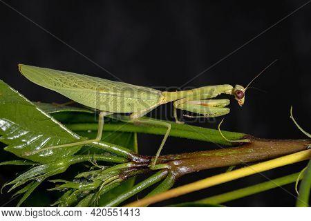 Female Adult Unicorn Mantis