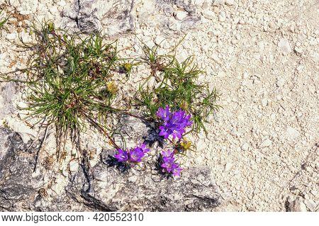 Wildflowers. Bellflowers Growing Among Stones. National Park Lake Skadar, Montenegro