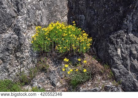 Spring In Mountains. Wildflowers On Stone Rock. Yellow Flowers Of Alpine Bird's-foot Trefoil ( Lotus