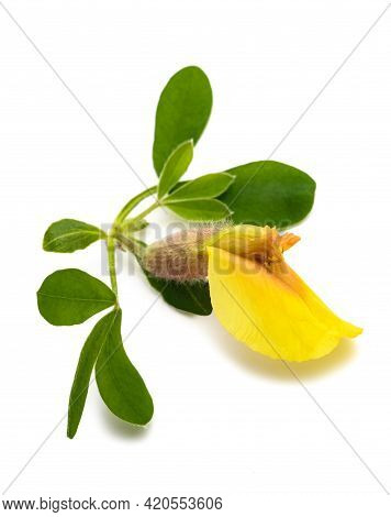 Clustered Broom ( Cytisus Hirsutus ) Isolated On  White Background