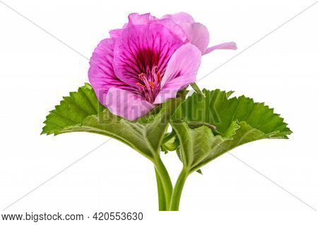 Geranium  Flowers  Isolated On A White Background