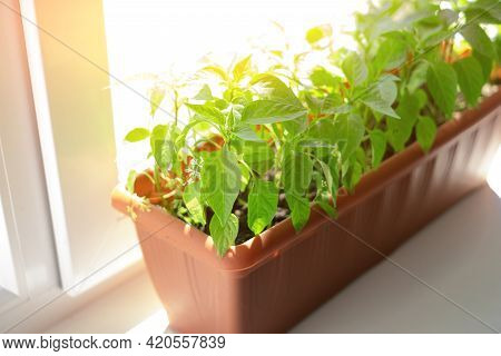 Young Seedlings Of Peppers Grow On The Windowsill. Gardening And Gardening. Organic Fertilizers For