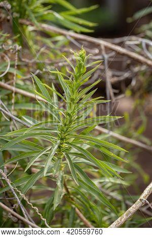 Anise Goldenrod Plant