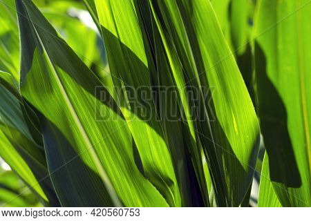 Close-up Corn Plant With Pronounced, Contrasting Leaf Texture