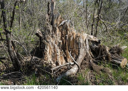 The Tree Stump Of A Large, Old Tree Broken By A Hurricane. The Splintered Wood Of A Tree Broken By A