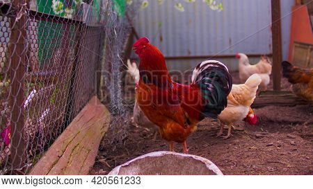 Close Up Of Adult Rooster With Chickens In Paddock. Portrait Of Stately Pack Leader In Coop Outdoor