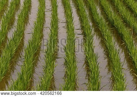 Green Rice Fields Filled With Life Giving Water Showing Growing Rice After First Rains Of The Rainy
