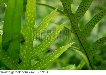Fresh Green Leaf With Dots Of Young Spore The Wart Fern Of Hawaii With Raindrops In Blur Background