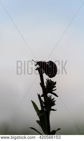 Silhouette Two Red Ladybug Mate On Stem. Spring Czech Nature, Love Background