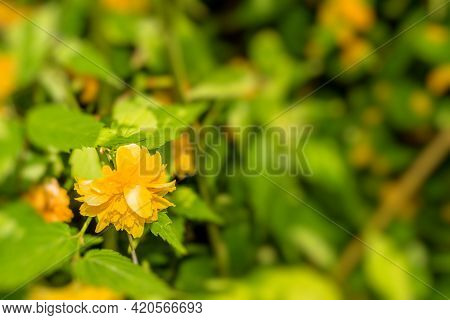 Closeup Of A Small Yellow Flower With Leaves Blurred In Background.