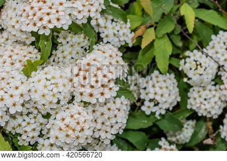Bushes Of Small Bunches White Delicate Flowers.