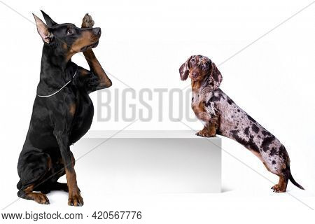 Dog dachshund and doberman with blank billboard. Dog above banner or sign. Dachshund dog portrait over white background