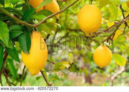 Lemon Garden With Fruits, Soller Traditional Lemon Garden