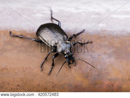 Close Up Of Rare Insect Calosoma Carabinae On Iron Red Rusty Background