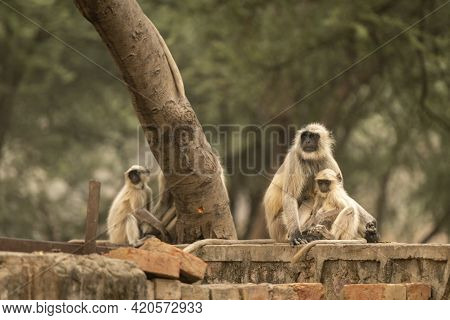 Gray Or Hanuman Langurs Or Indian Langur Or Monkey Mother With Her Baby At Ranthambore National Park