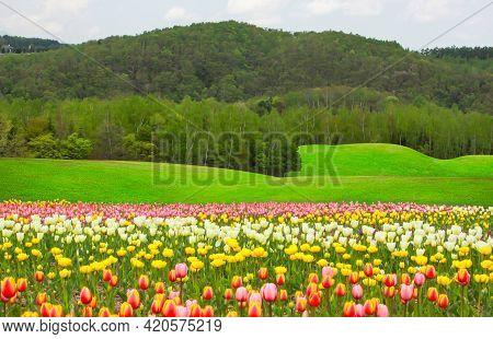 Filed Of Colorful Tulips Flower Blossom Garden On Green Grass Lawn Hill, Greenery Trees And Mountain