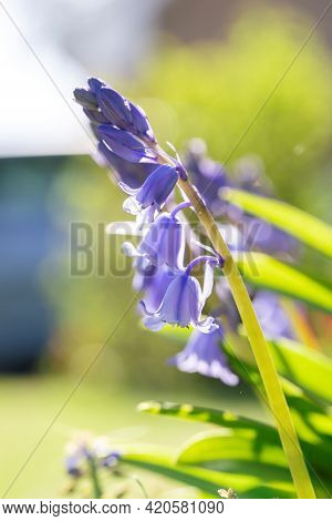 A Sunny Portrait Of A Wild Hyacinth, Also Known As A Common Bluebell Flower. The Latin Name Of The P