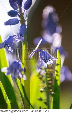 A Portrait Of A Wild Hyacinth In A Garden, Also Known As A Common Bluebell Flower. The Latin Name Of