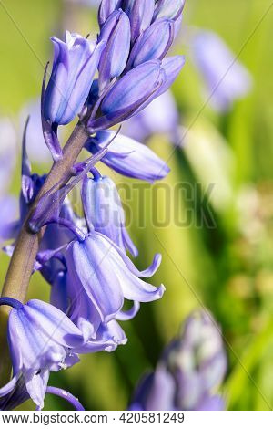 A Close Up Portrait Of A Wild Hyacinth, Also Known As A Common Bluebell Flower, In A Garden. The Lat