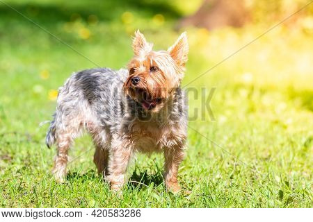 A Dog Toy Terrier On The Grass In The Park, Against The Backdrop Of Summer. Place For Text