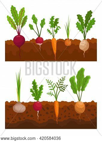 Vegetables Growing In The Ground. Plants Showing Root Structure. Farm Product For Restaurant Menu Or